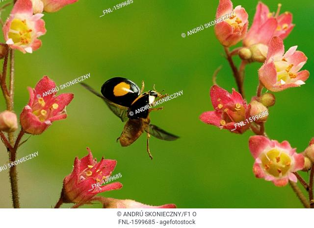 Close-up of Asian Lady Beetle Harmonia axyridis hovering over flower