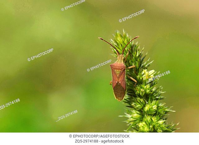 Indian Milkweed Bug, Oncopeltus confusus, Pune, Maharashtra