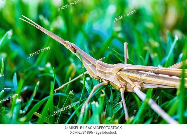 Grasshopper eggplant-face (Acrida ungarica). Irache, Ayegui, Navarre, Spain