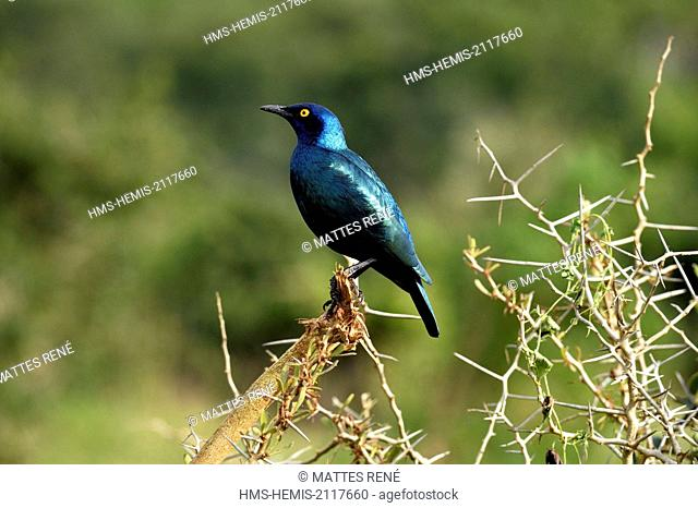 South Africa, Eastern Cape, Addo Elephant National Park, Greater Blue-eared Glossy-starling (Lamprotornis chalybaeus)