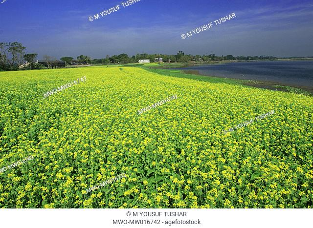A mustard field, on the bank of a river, in Bangladesh December 7, 2007