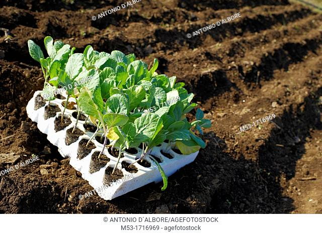 Young cabbage plants in a styrofoam container