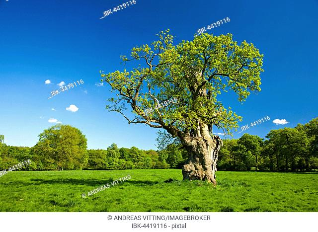 Gnarly old oak (Quercus robur) on field in spring, Huteeiche, Hutebaum, fresh green leaves, Reinhardswald, Beberbeck, Hesse, Germany