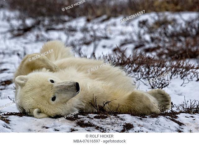Polar bears, Churchill, Manitoba, Canada, Hudson Bay, Polar Bear, Ursus maritimus, in the Churchill Wildlife Management Area, Hudson Bay, Churchill, Manitoba