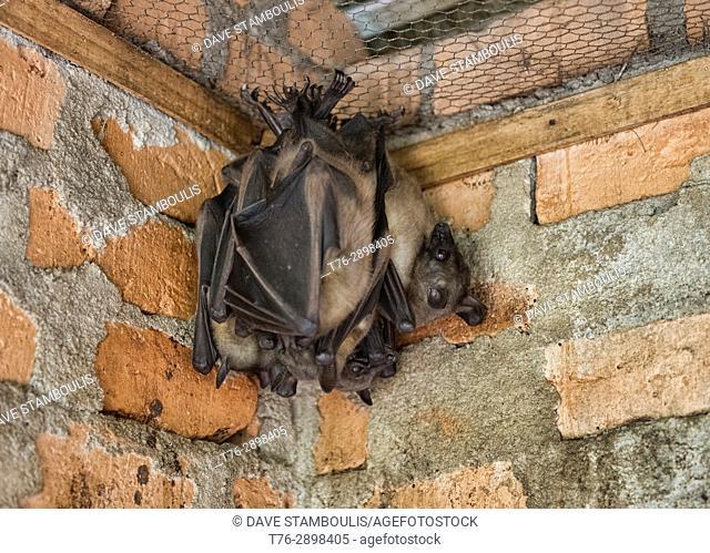 Madagascan flying fox (Madagascar fruit bat), Andasibe-Mantadia National Park, Madagascar