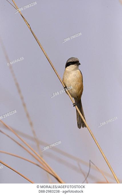 India, State of Assam, Kaziranga National Park, Grey backed Shrike ((Lanius tephronotus)). perched on a branch