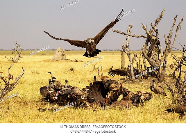Black-backed Jackal (Canis mesomelas), Hooded Vulture (Necrosyrtes monachus) with pink head and White-backed Vultures (Gyps africanus) - The jackal chases off a...
