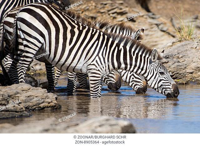 Equus quagga,Steppenzebrea,Plains zebra,drinking