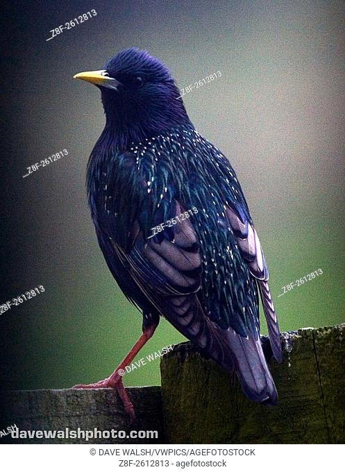 Starling, shot through the kitchen window blinds - hence vignetting!. Lahinch, Co. Clare