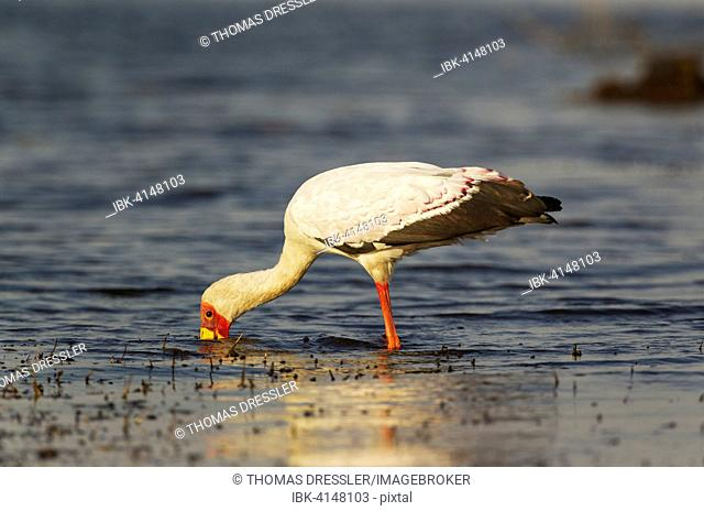 Yellow-billed Stork (Mycteria ibis), hunting in the shallow water at the shore of the Chobe River, Chobe National Park, Botswana