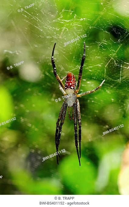 Silk spider, Hermit spider (Nephilengys spec.), in a spider web, New Caledonia, Ile des Pins