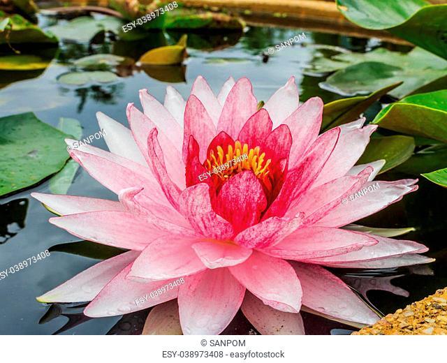 blossom lotus flower in pond