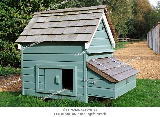 Domestic Chicken, coop with nest box, Norfolk, England, september