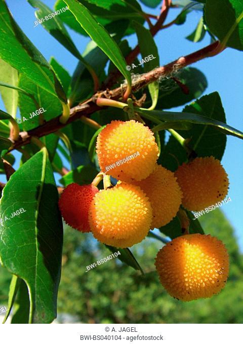 killarney strawberry tree (Arbutus unedo), fruits