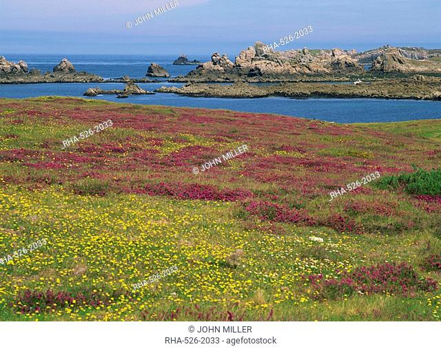 Wild flowers on the shore and the rocky coast of the Ile d'Ouessant, Finistere, Brittany, France, Europe