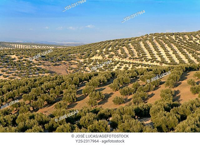 Olive grove, Torredelcampo, Jaen province, Region of Andalusia, Spain, Europe