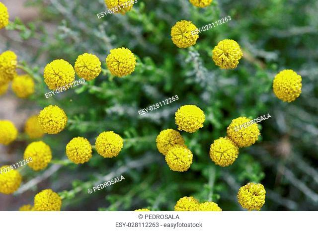 group of small yellow flowers, Zaragoza Province, Aragon, Spain