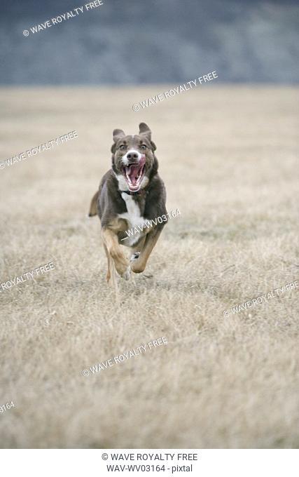 Brown and white mixed breed dog running hard toward camera, Canada, Alberta