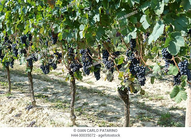 Italy, panorama of vineyards of Piedmont Langhe-Roero and Monferrato on the World Heritage List UNESCO. Bunches of Dolcetto Italy, Piedmont, Vineyards