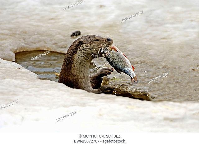 European river otter, European Otter, Eurasian Otter (Lutra lutra), with captured fish in frozen water, Poland