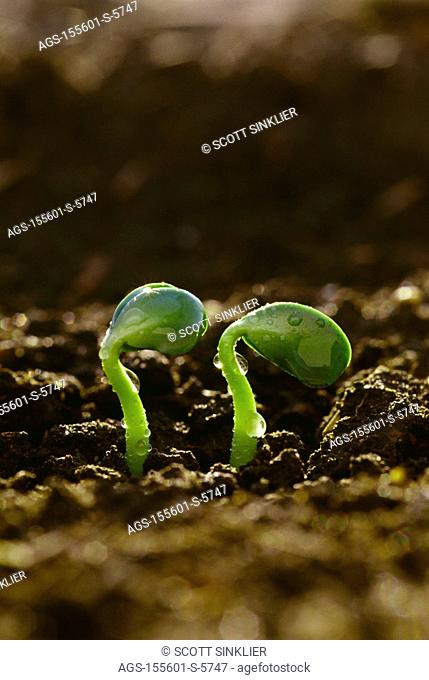 Agriculture - Closeup of two soybean seedlings and raindrops in early morning light / IA