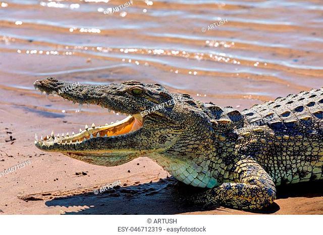 resting nile crocodile with opened mouth showing teeth in Chobe river, Botswana safari wildlife