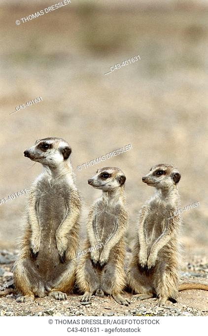 Meerkat or suricate (Suricata suricatta) female with 2 young on the lookout at the edge of their burrow. Kgalagadi Desert. Southeast Namibia