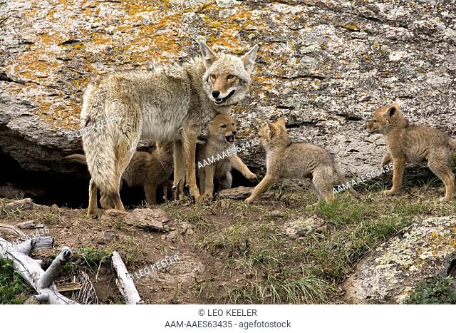 Coyote and pups in Yellowstone National Park