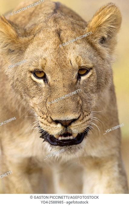African lion (Panthera leo) - Female, Savuti, Chobe National Park, Botswana