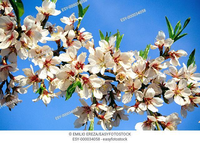 Almond tree, Prunus dulcis or P  Communis