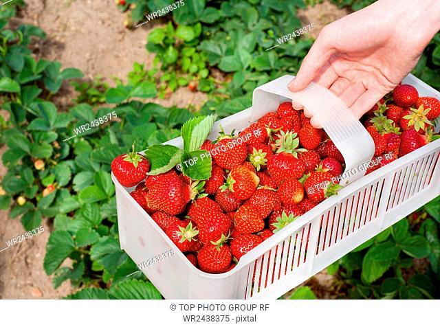 Plenty ripe strawberries picked to white plastic punnet. Man picking fresh red fruits to plastic punnet, holding in one hand
