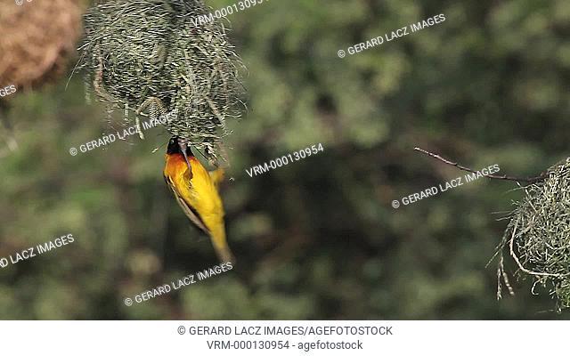 Speke's Weaver, ploceus spekei, Male working on Nest, Bogoria Park in Kenya, Real Time