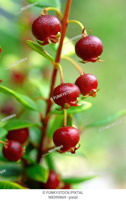Ugni molinae Also known as Little Myrtle , Tazziberry or New Zealand cranberry  Chilean superfood anti oxidant