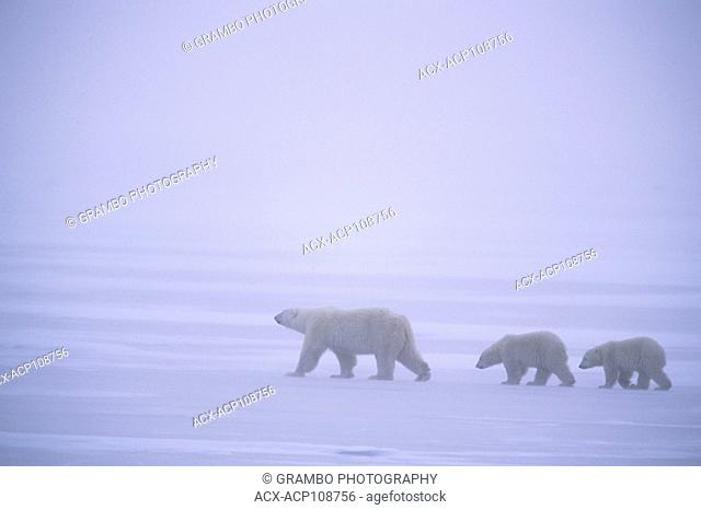 Polar Bear mother and two cubs, Ursus maritimus, cross ice in blowing snow near Churchill, Manitoba Canada