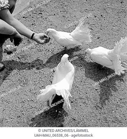 Weiße Tauben werden aus der Hand eines kleinen Mädchens gefüttert, Deutschland 1930er Jahre. White pigeons being fed by the hand of a little girl, Germany 1930s