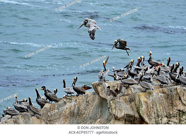 Brown pelican (Pelecanus occidentalis) roosting colony on a small coastal sea stack, Pismo Beach, California, USA