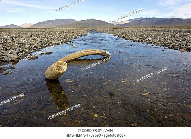 Russia, Chukotka autonomous district, Wrangel island, Doubtful village, mammoth tusk in the bed of the river (Doubtful river)