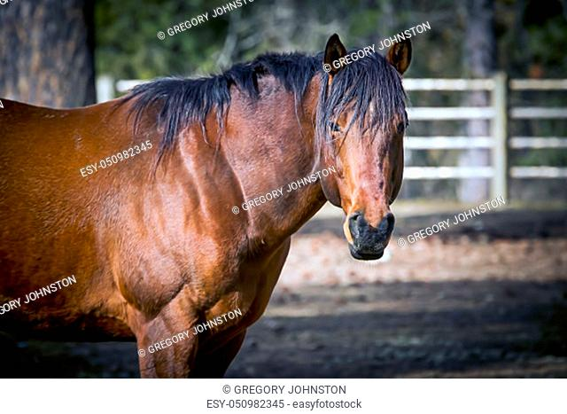 A side view of a beautiful horse in a fenced in pasture in north Idaho