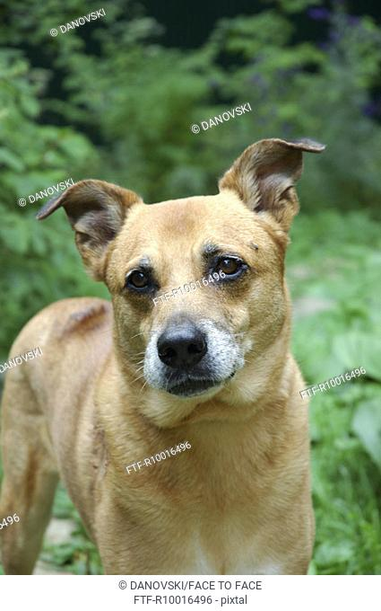Front view of a dog staring at the camera