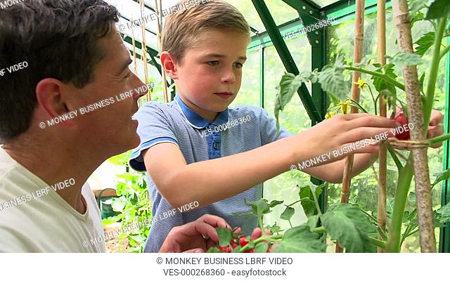 Father and son collect ripe tomatoes from plants growing in greenhouse. Shot on Sony FS700 in PAL format at a frame rate of 25fps