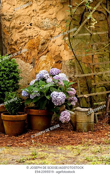 A garden cottage with hydrangeas and boxwoods in terra cotta pots.Georgia USA