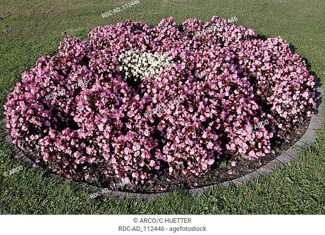 Bed of flowers with Bedding Begonia Begonia semperflorens hybride Begoniaceae