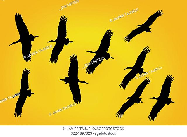 White Storck, Cigüeña Blanca, Ciconia ciconia