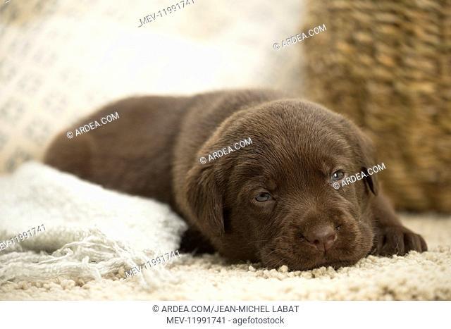 Chocolate Labrador Dog, puppy
