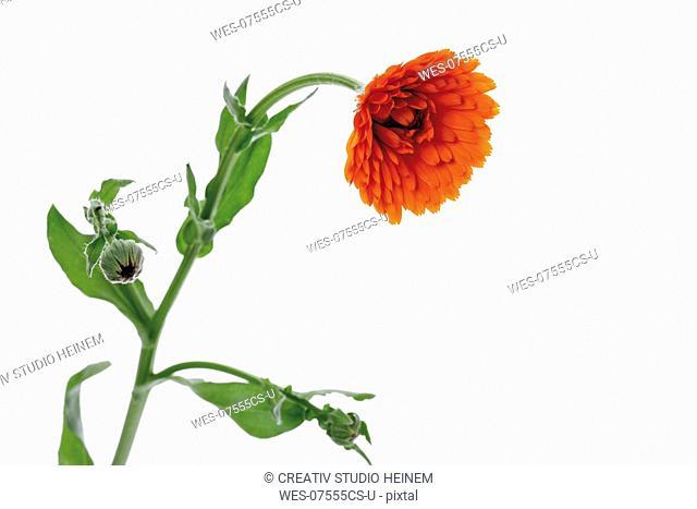 Marigold flower, close-up
