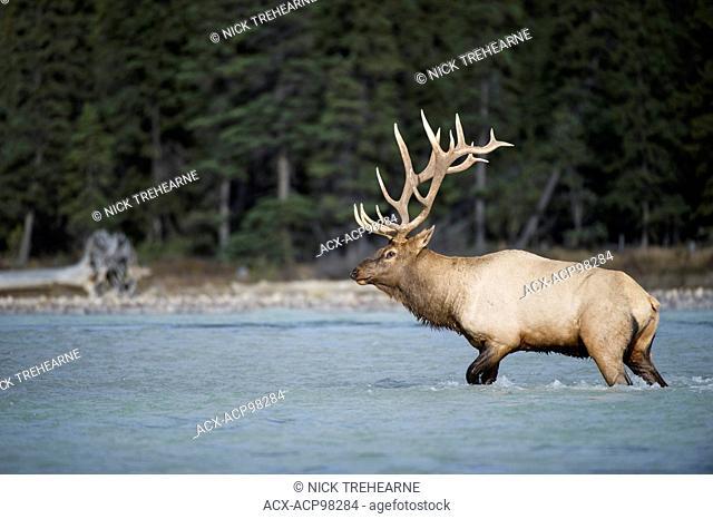 Cervus canadensis nelsoni, rocky mountain elk, rut, Alberta, Canada, male, bull crossing river