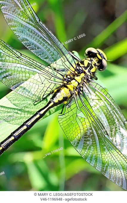 Emerging Common Clubtail, Gomphus vulgatissimus clings to marsh grass after emerging  eyes are still grey and not fully formed  Before first flight  Drying...