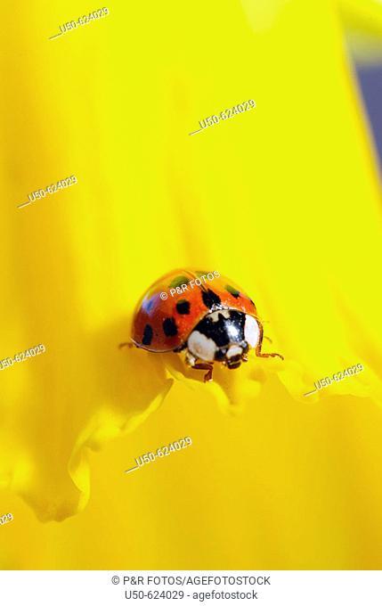 Ladybird, Adalia decempunctata, Coccinellidae, 2007, Bonn,  Germany