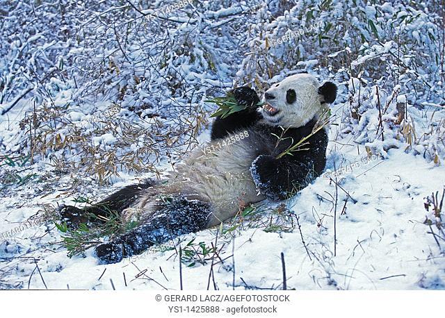 GIANT PANDA ailuropoda melanoleuca, WOLONG RESERVE IN SICHUAN PROVINCE, CHINA