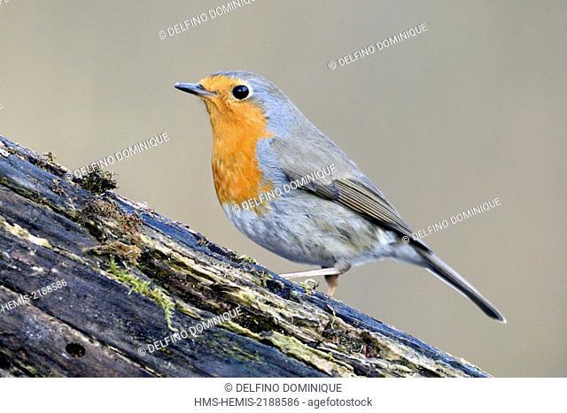 France, Doubs, European Robin (Erithacus rubecula)